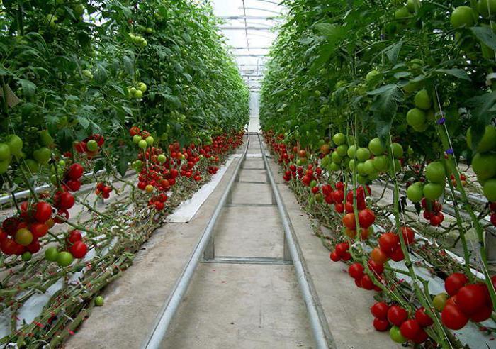 Проект по выращиванию помидоров 864