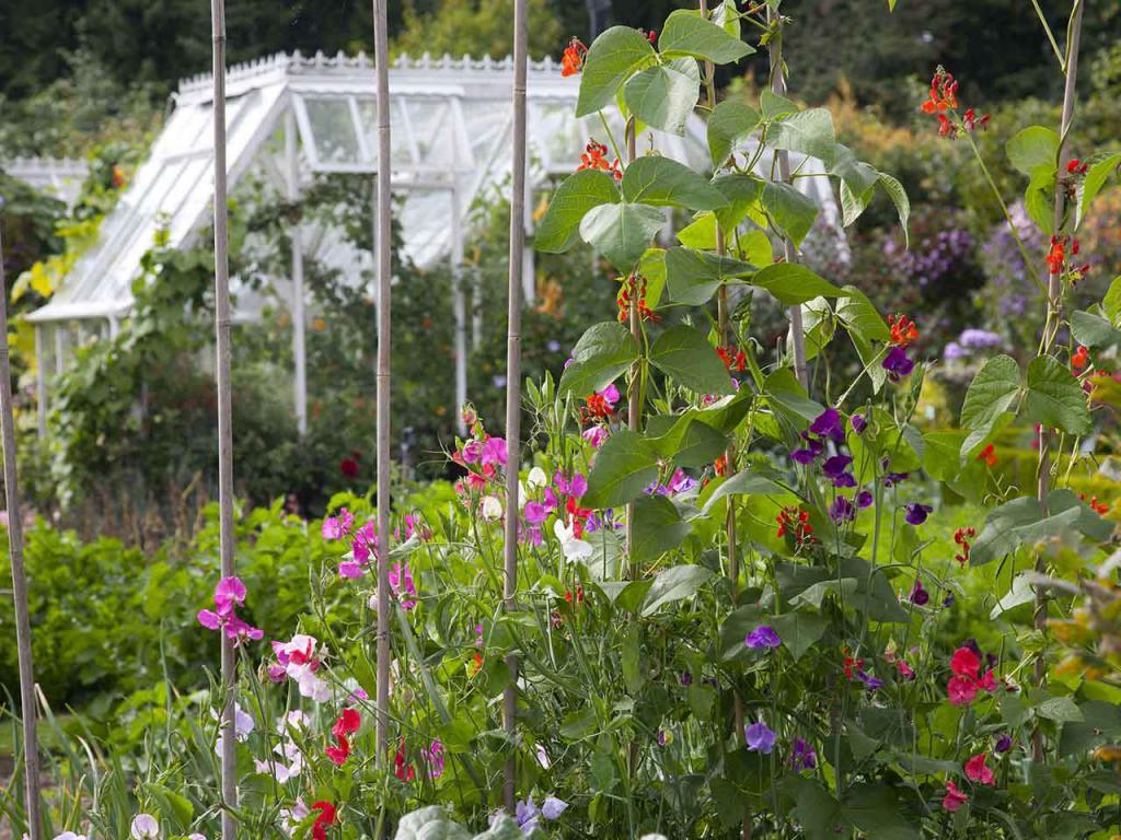 Выращивание душистого горошка в открытом грунте 28