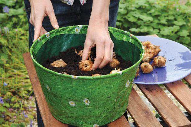 как сажать луковицы гладиолусов весной
