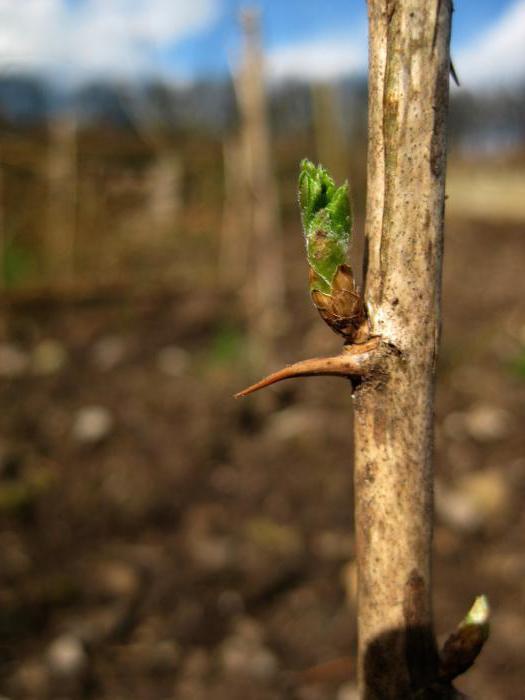 Размножение крыжовника черенками осенью