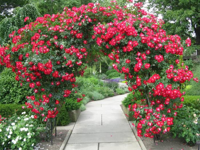 сорта кустовых роз