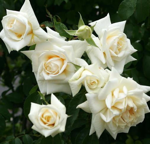 розы шрабы описание