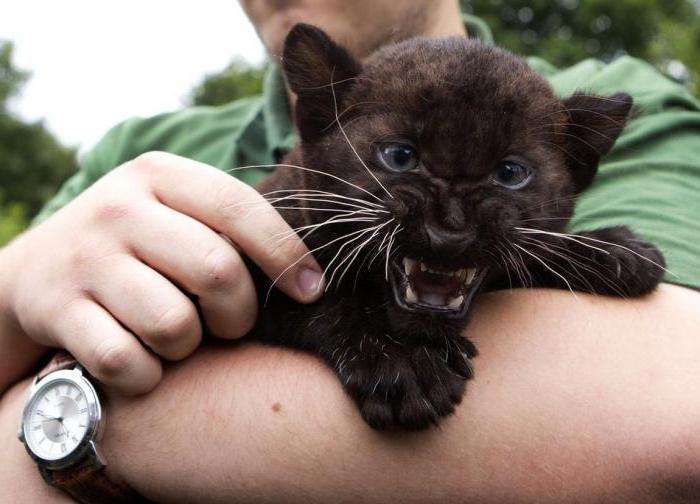 К чему снится черная пантера которая нападает