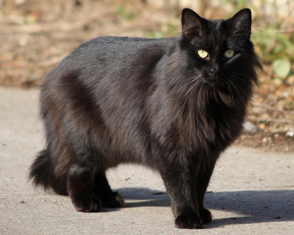 Черная кошка и суеверия