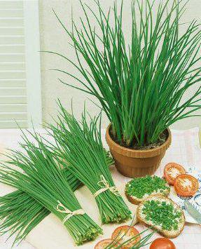 Лук-шнитт - что это такое? Лук-шнитт: выращивание из семян, особенности грунта и описание
