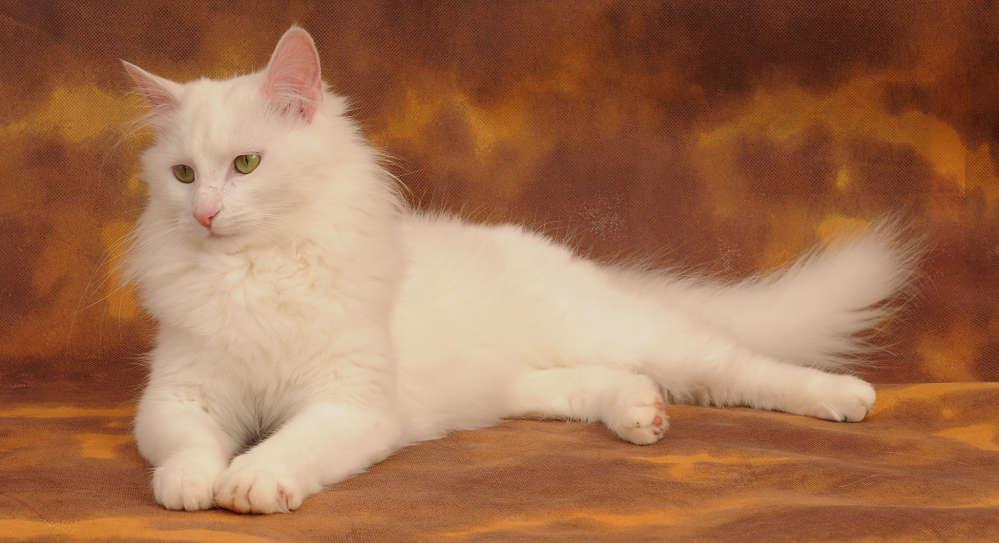 котята турецкая ангора см фото повзрослев часто задаемся
