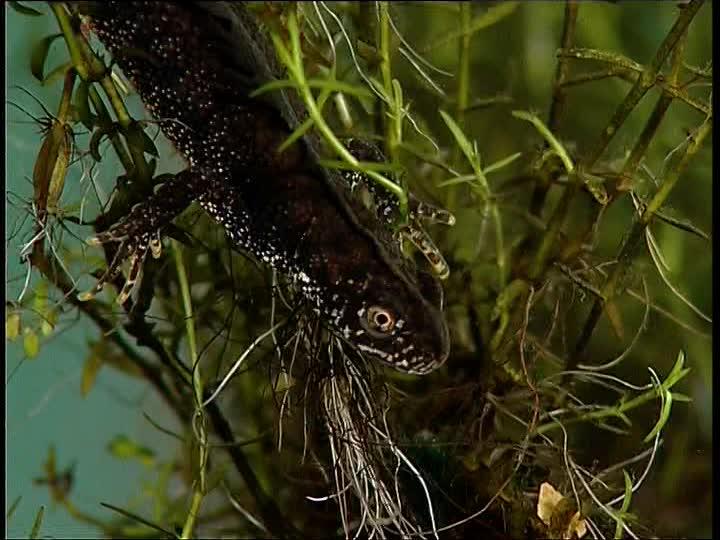 Тритоны: размножение, виды, содержание в домашних условиях, питание