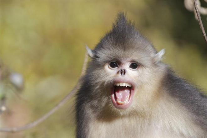 курносая обезьянка