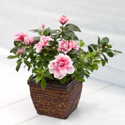 Цветы домашние на а букву