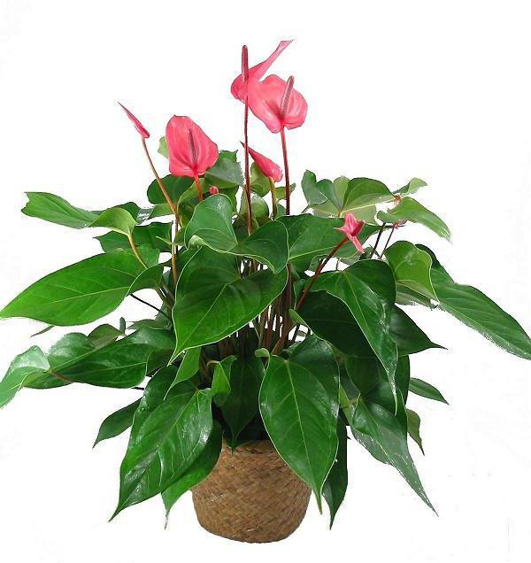 сделали такие показать фото комнатных растений на букву ф увеличение количества