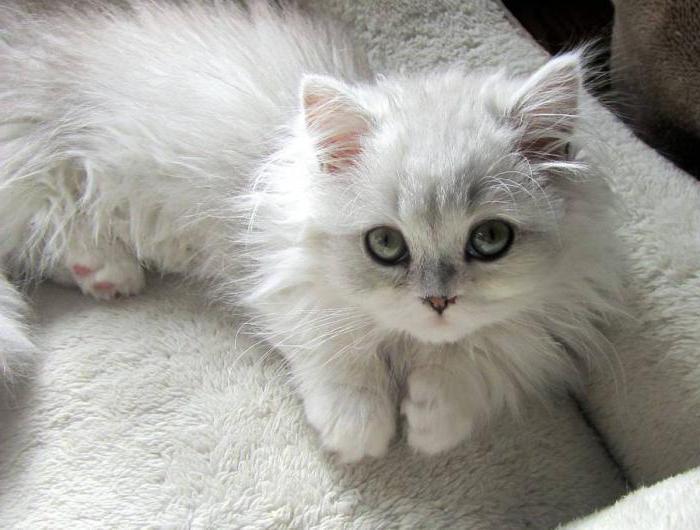 белые пушистые котики фото первое выступление