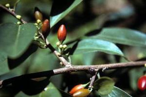 Растение Кока: семена
