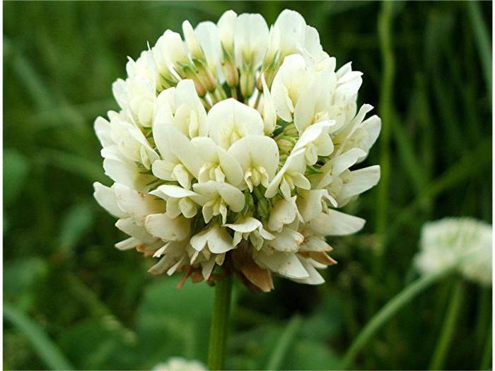 Цветок полевая кашка