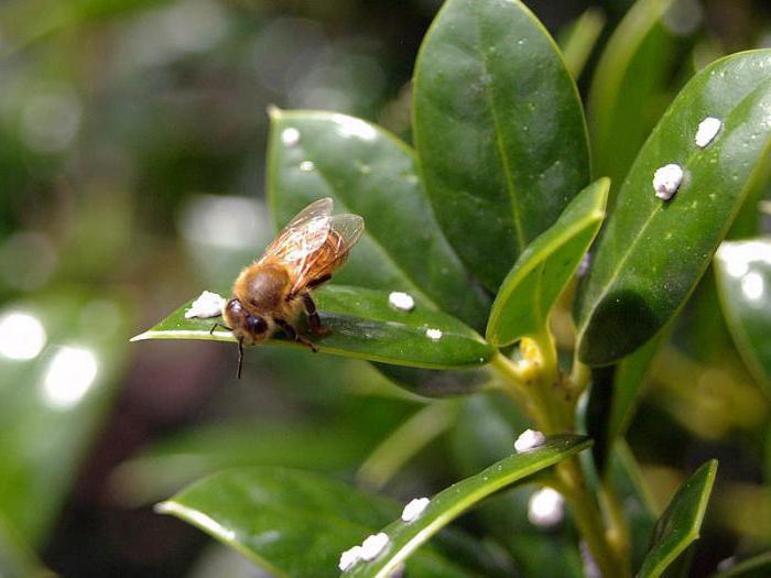 Падевый мед - что это такое? Как определить падевый мед?