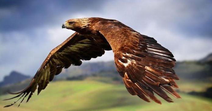беркут орел фото