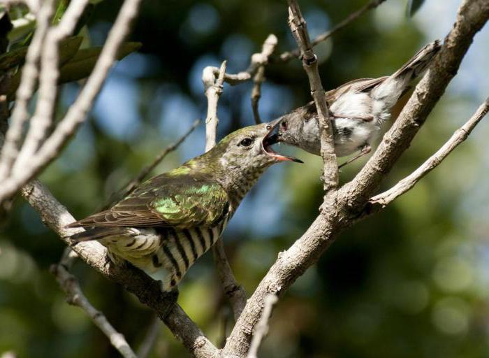 Что едят птенцы кукушки