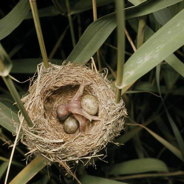 В какие гнезда кукушка откладывает яйца