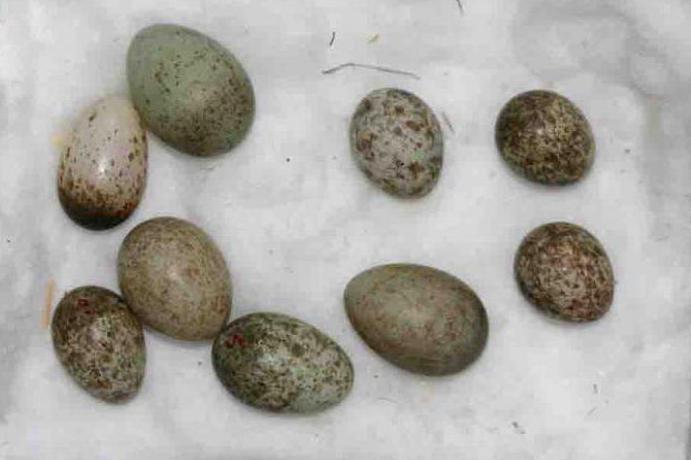 Яйца кукушки
