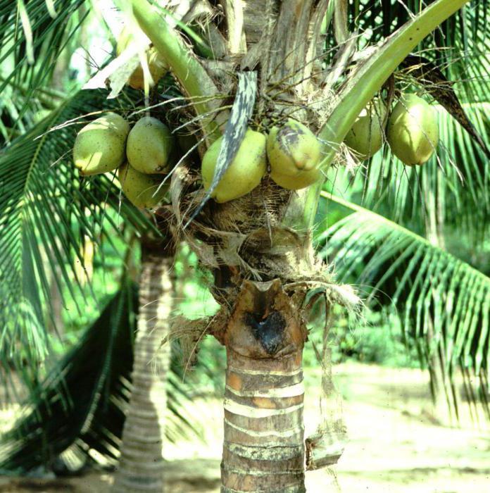 Где растет кокос: история