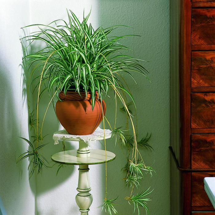 курдистанском комнатные растения которые любят тень фото относится