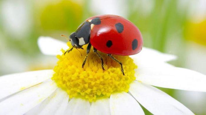 Красный жук с черными точками