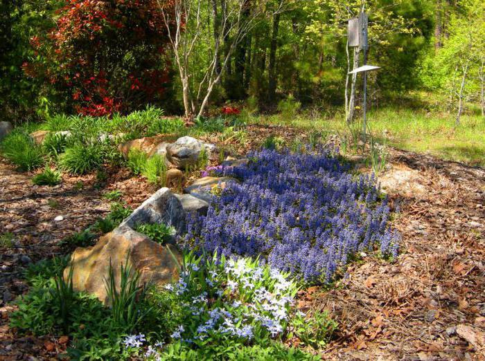 Живучка женевская: фото, выращивание из семян, уход