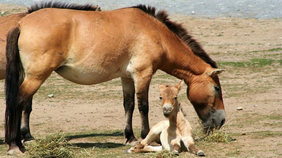 Лошадь с детенышем