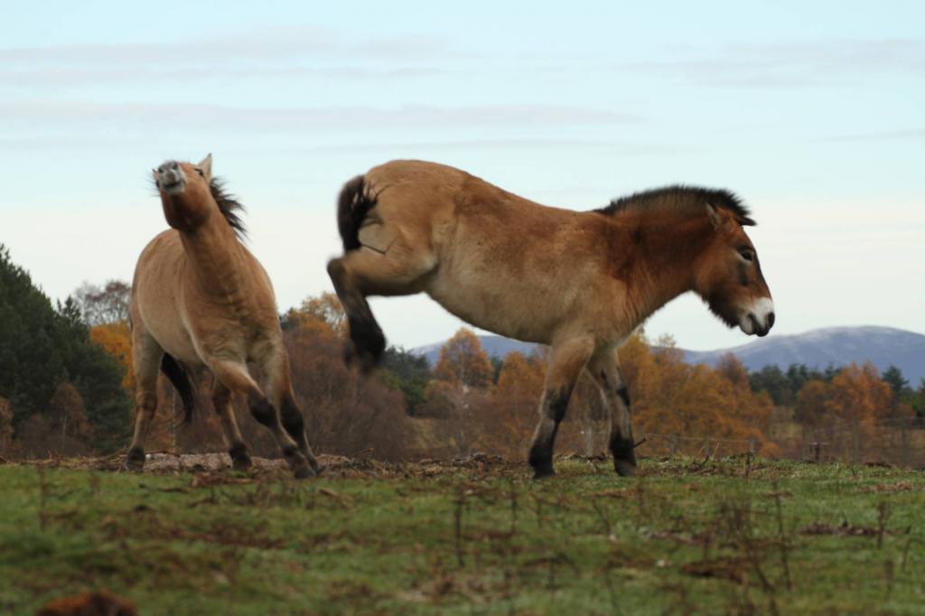 Лошади Пржевальского в беге