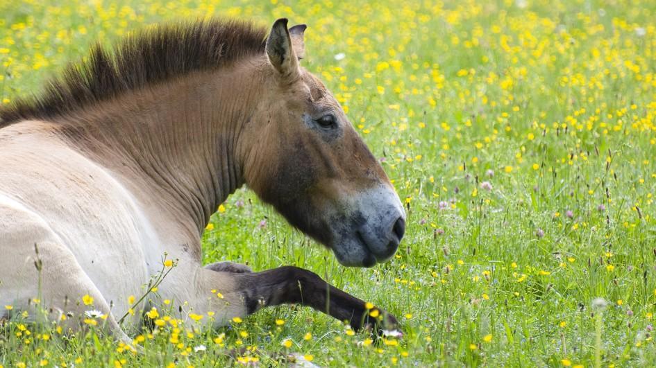 Описание лошади Пржевальского