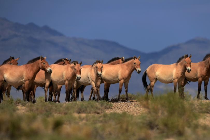Заповедники лошади Пржевальского