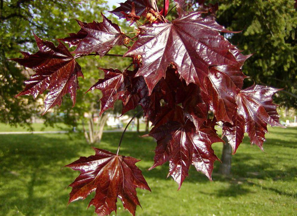 Листья сорта Кримзон Кинг