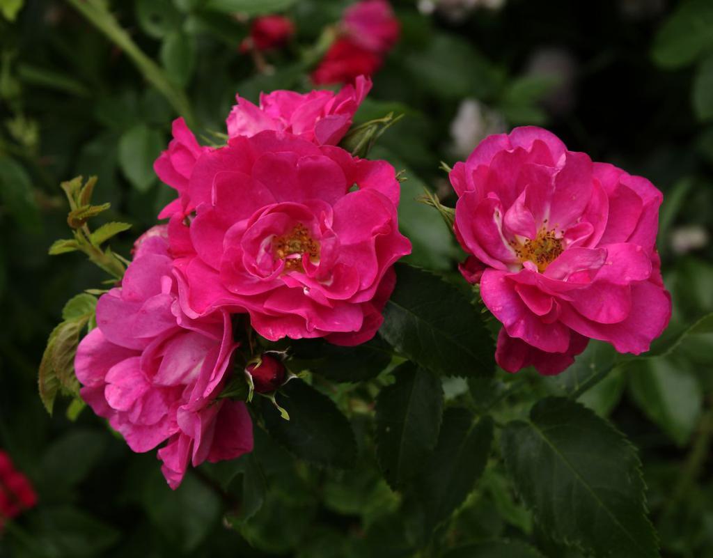 через полмесяца розы парковые сорта фото и описание расположен заповедном участке