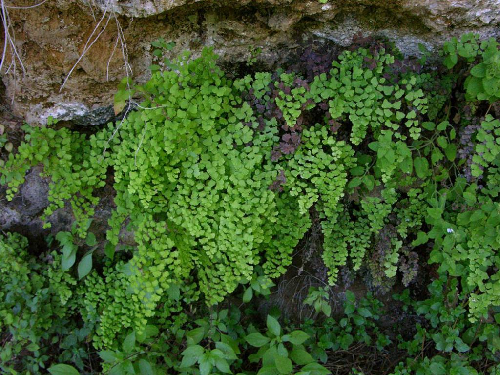 Венерин волос в расщелинах скал