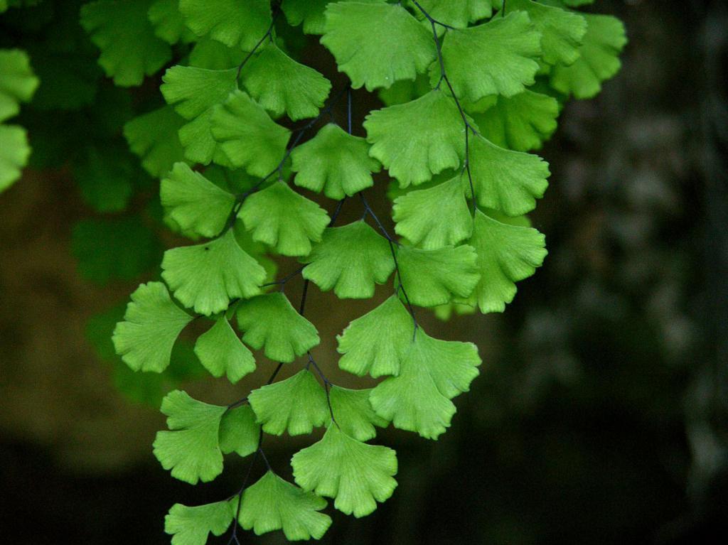 Листья растения венерин волос