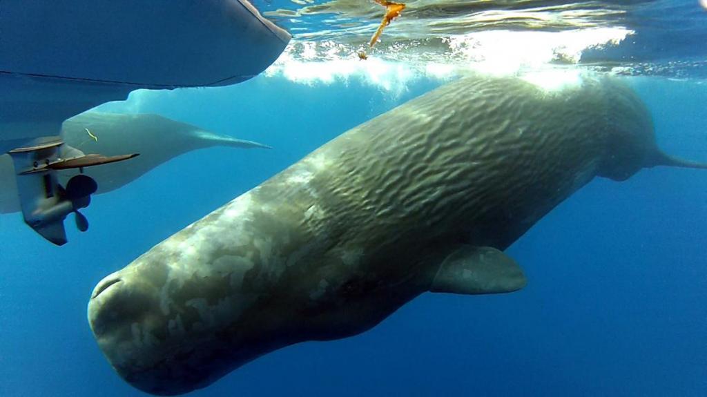 Что такое кашалот? Морское млекопитающее кашалот: описание, места обитания, образ жизни, питание