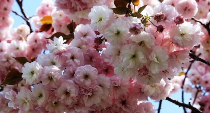 Плоды сакуры японской