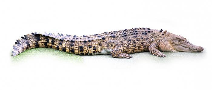 О крокодилах интересные факты о