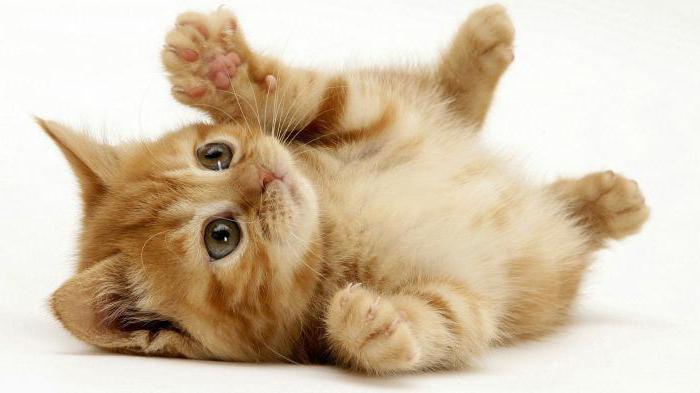 возраст кошки по человеческим меркам таблица