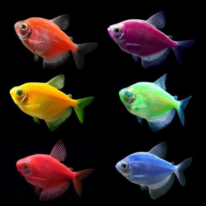 Тернеция совместимость с другими рыбами