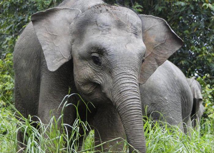 Самка слона оргазм