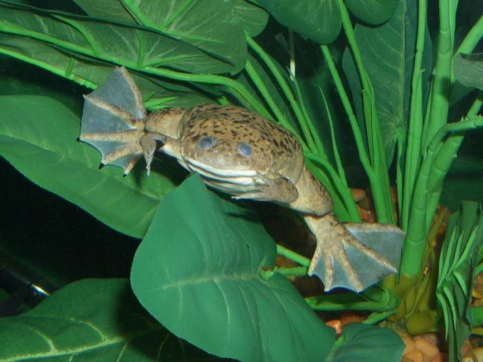 Шпорцевая лягушка содержание и уход