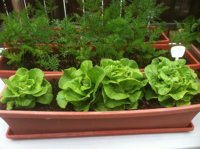 Салаты на подоконнике выращивание из семян