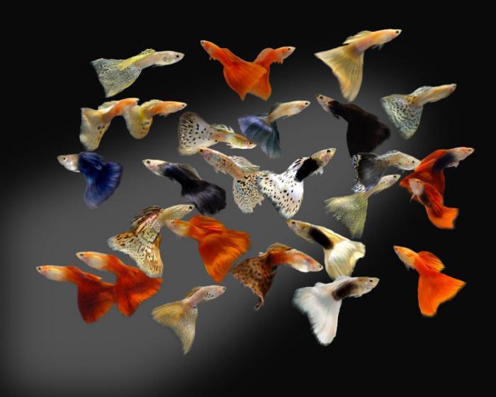 Guppy fish species