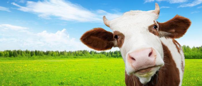 Сколько молока дает корова в день - норма и рекорды