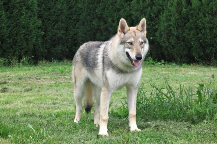 порода собака-волк фото