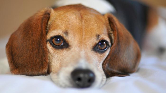У собаки текут глаза