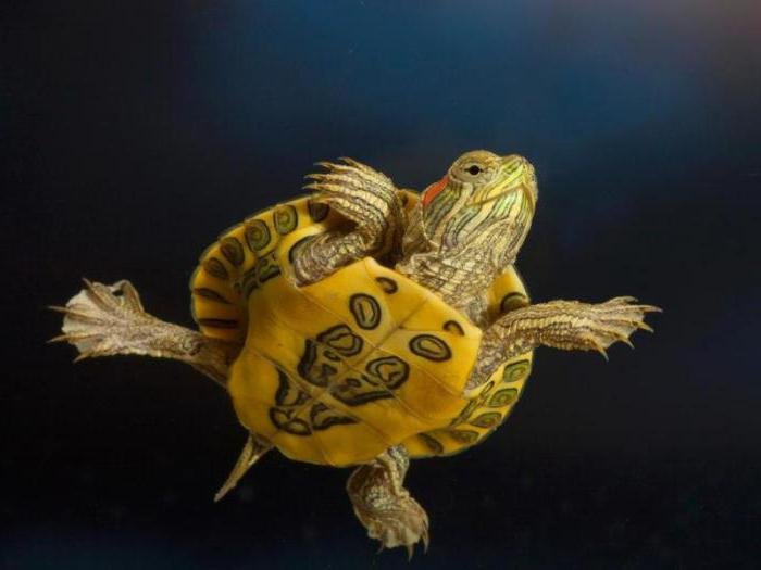 бывают ли красноухие черепахи декоративными