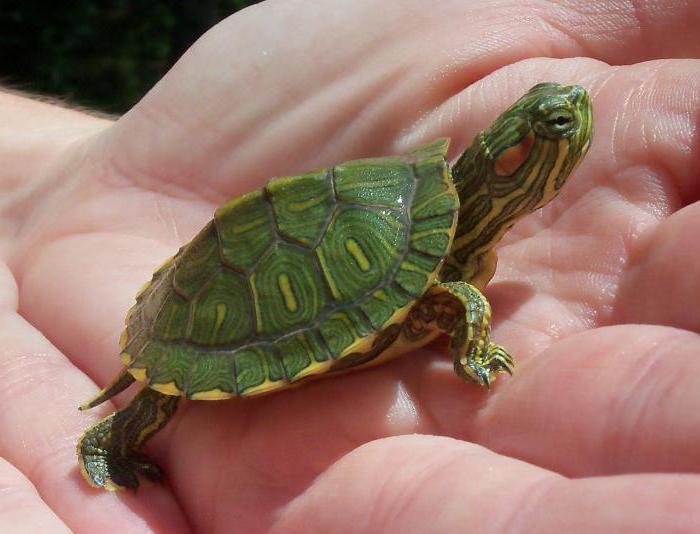 декоративная красноухая черепаха