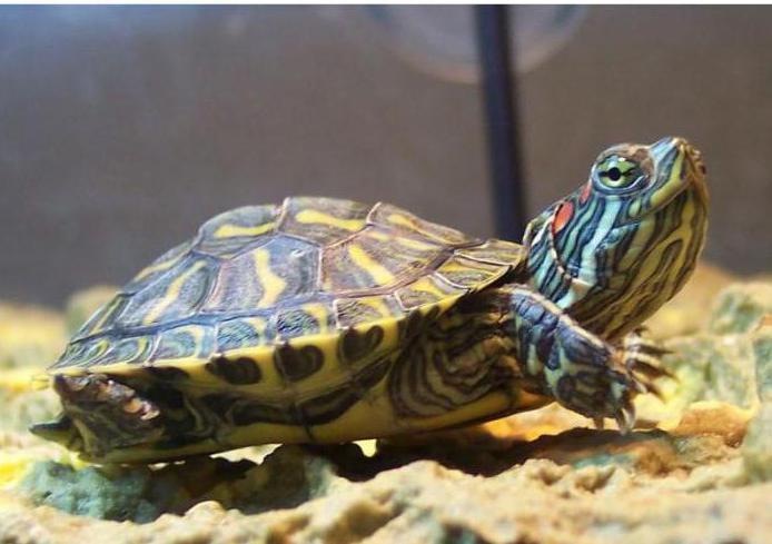 что ест красноухая черепаха в домашних условиях - VIP-irk.ru