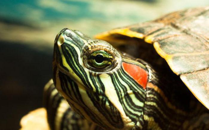 как кормить декоративную красноухую черепаху